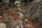 Plectranthus sanguineus