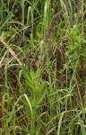 Plectranthus stenophyllus