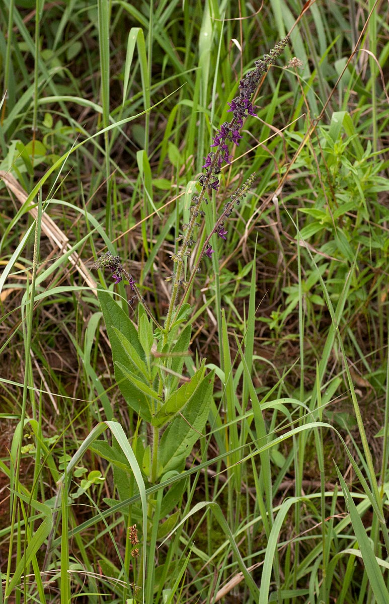 Equilabium stenophyllum