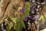 Plectranthus lasianthus