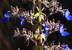 Plectranthus thyrsoideus