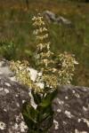 Plectranthus sessilifolius
