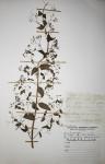 Isodon ramosissimus