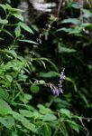 Plectranthus bojeri