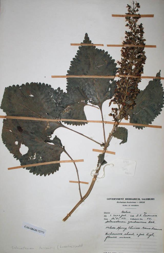 Plectranthus shirensis