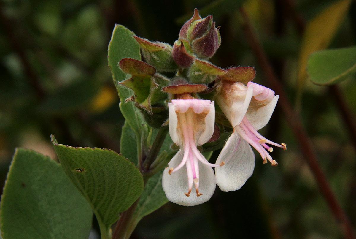 Syncolostemon flabellifolius