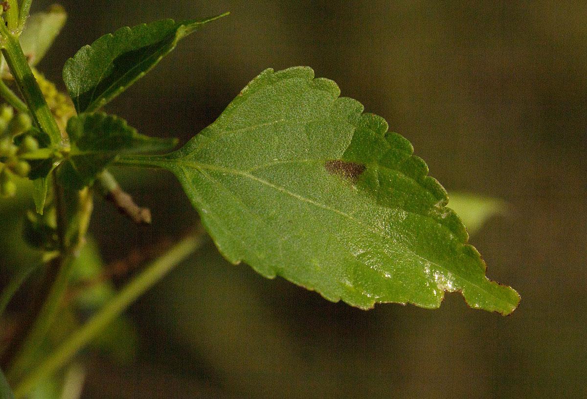 Basilicum polystachyon