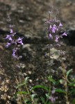 Syncolostemon canescens