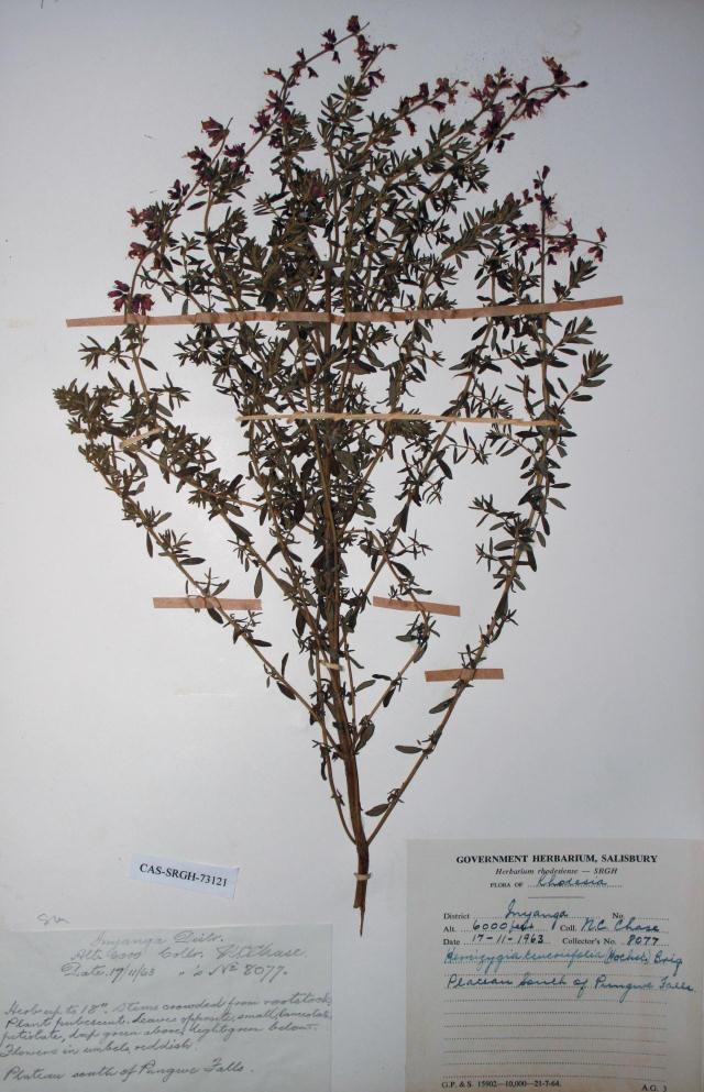 Syncolostemon teucriifolius