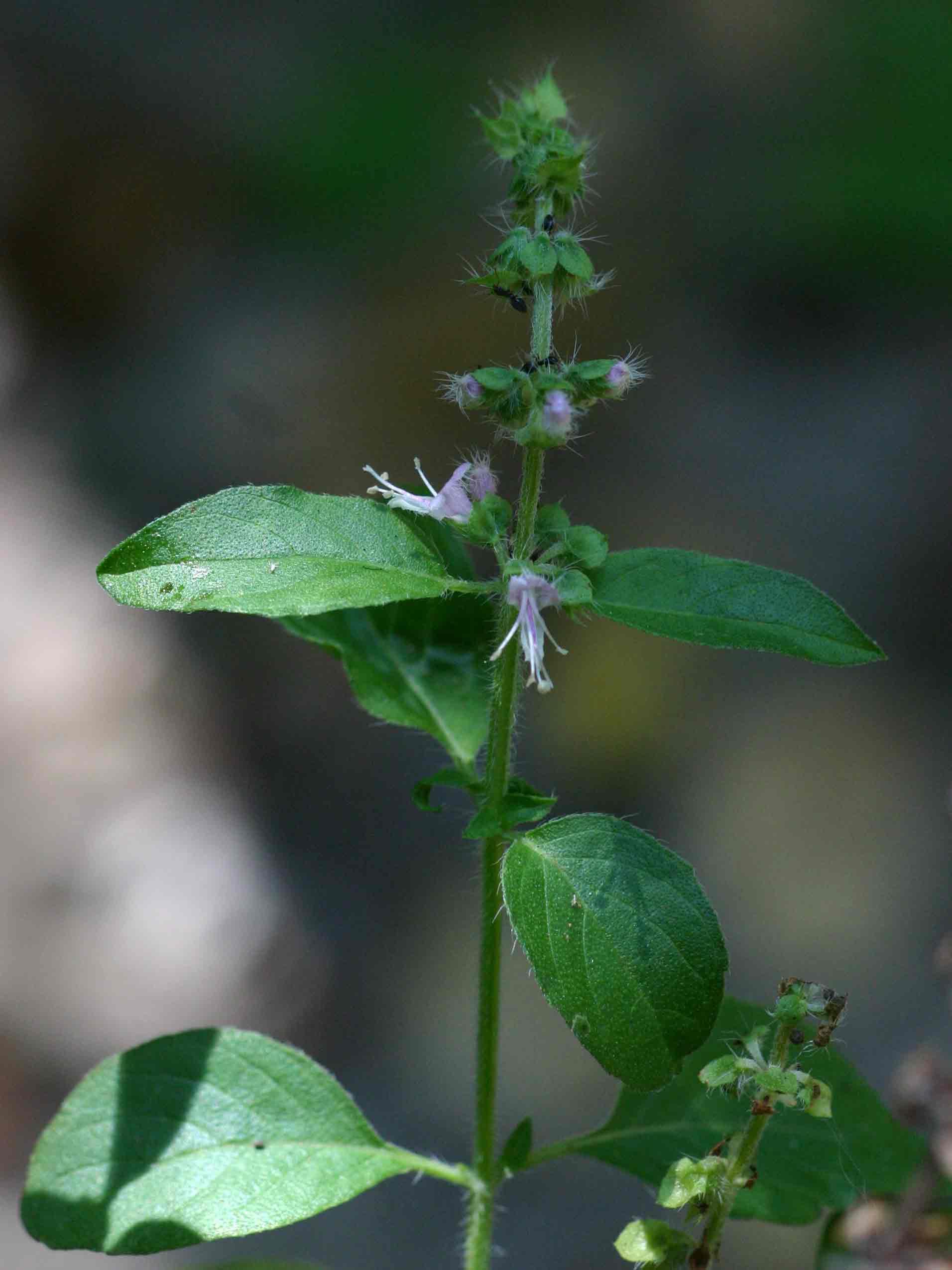 Ocimum americanum / africanum
