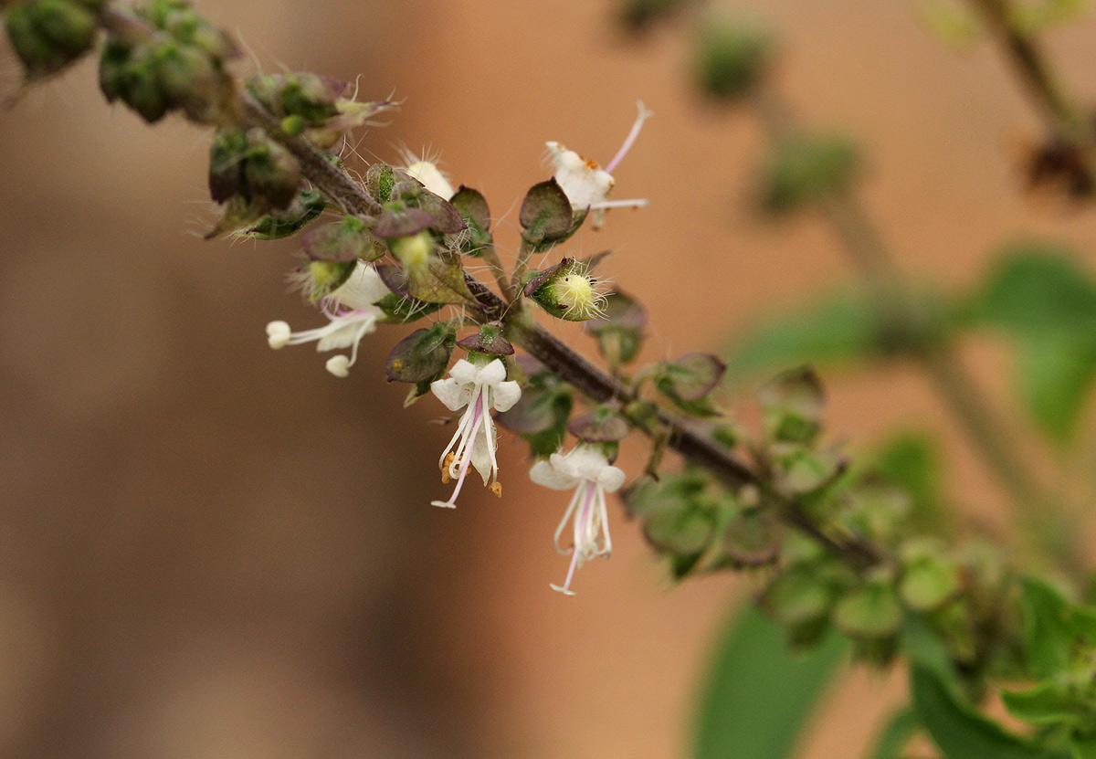 Ocimum americanum
