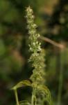 Ocimum gratissimum subsp. gratissimum var. gratissimum