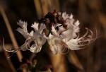 Ocimum obovatum subsp. obovatum var. obovatum