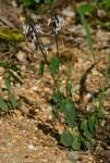 Orthosiphon thymiflorus