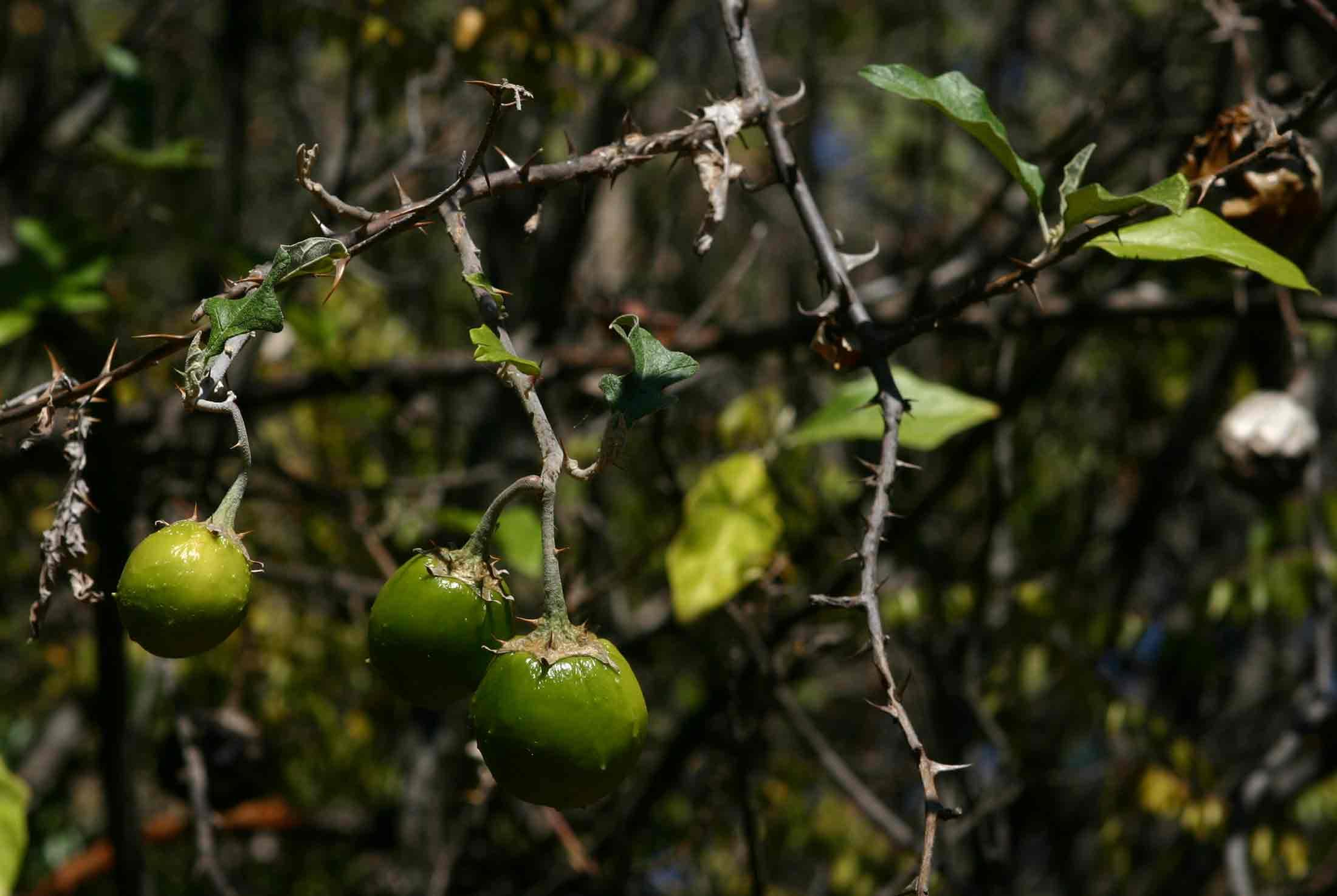 Solanum aculeastrum var. aculeastrum
