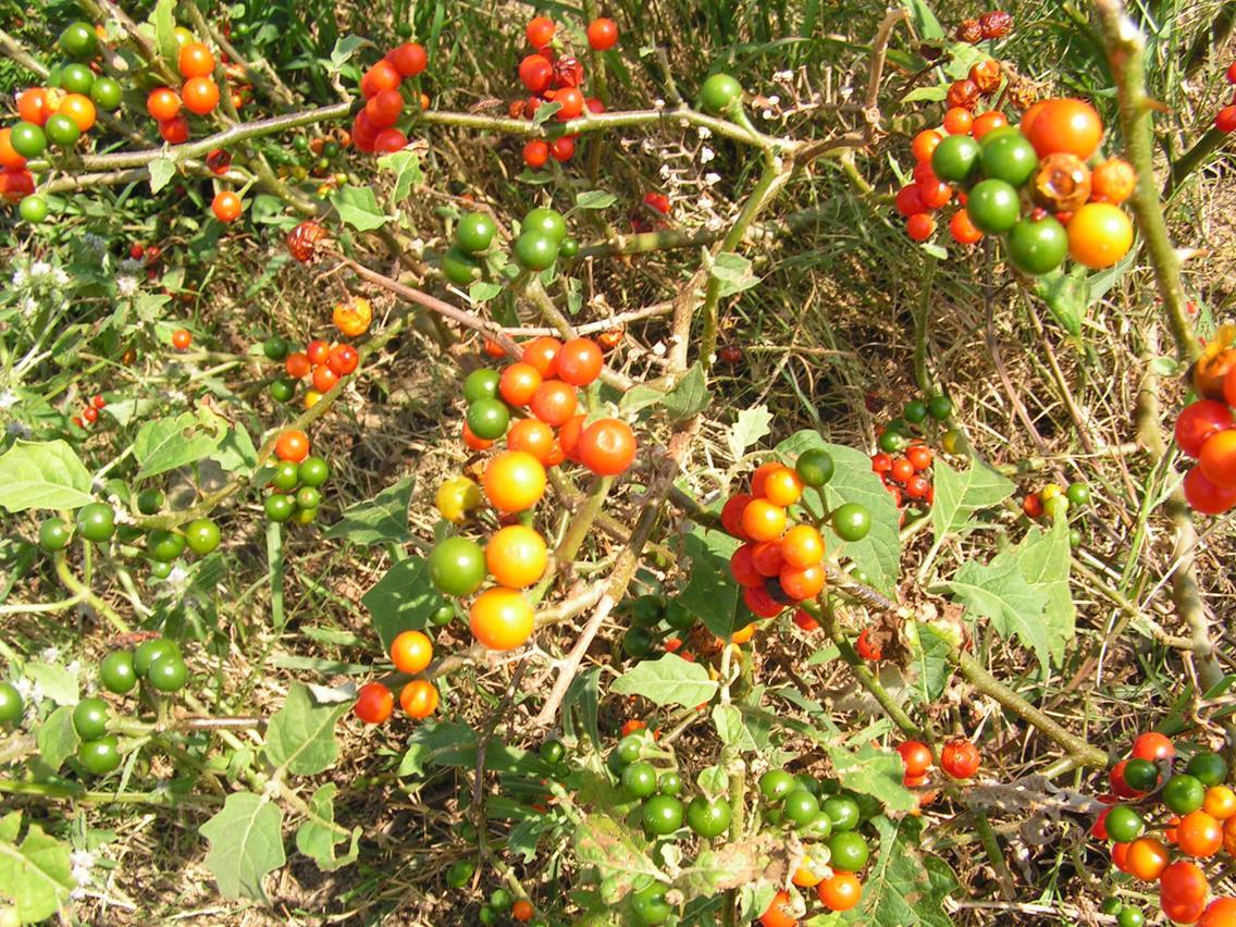 Solanum anguivi