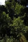 Solanum giganteum
