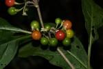 Solanum goetzei