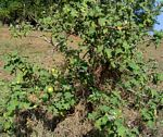Solanum campylacanthum