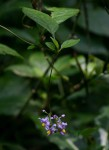 Solanum terminale