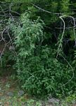 Solanum tettense var. tettense