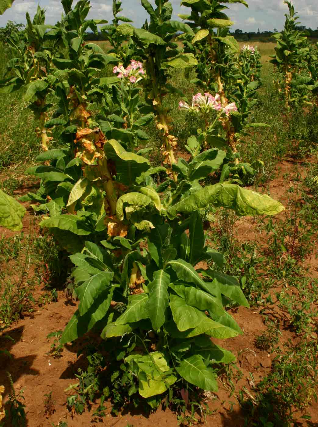 Nicotiana Tabacum Images: Flora Of Zimbabwe: Cultivated Species Information