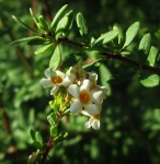 Antherothamnus pearsonii
