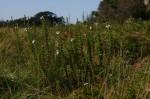 Jamesbrittenia carvalhoi
