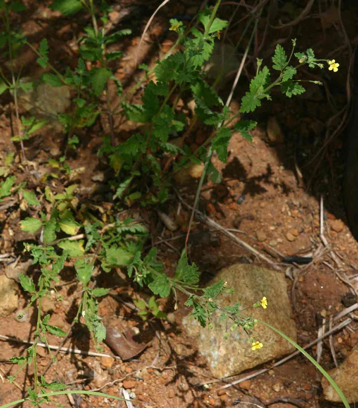 Jamesbrittenia micrantha
