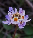 Melanospermum foliosum