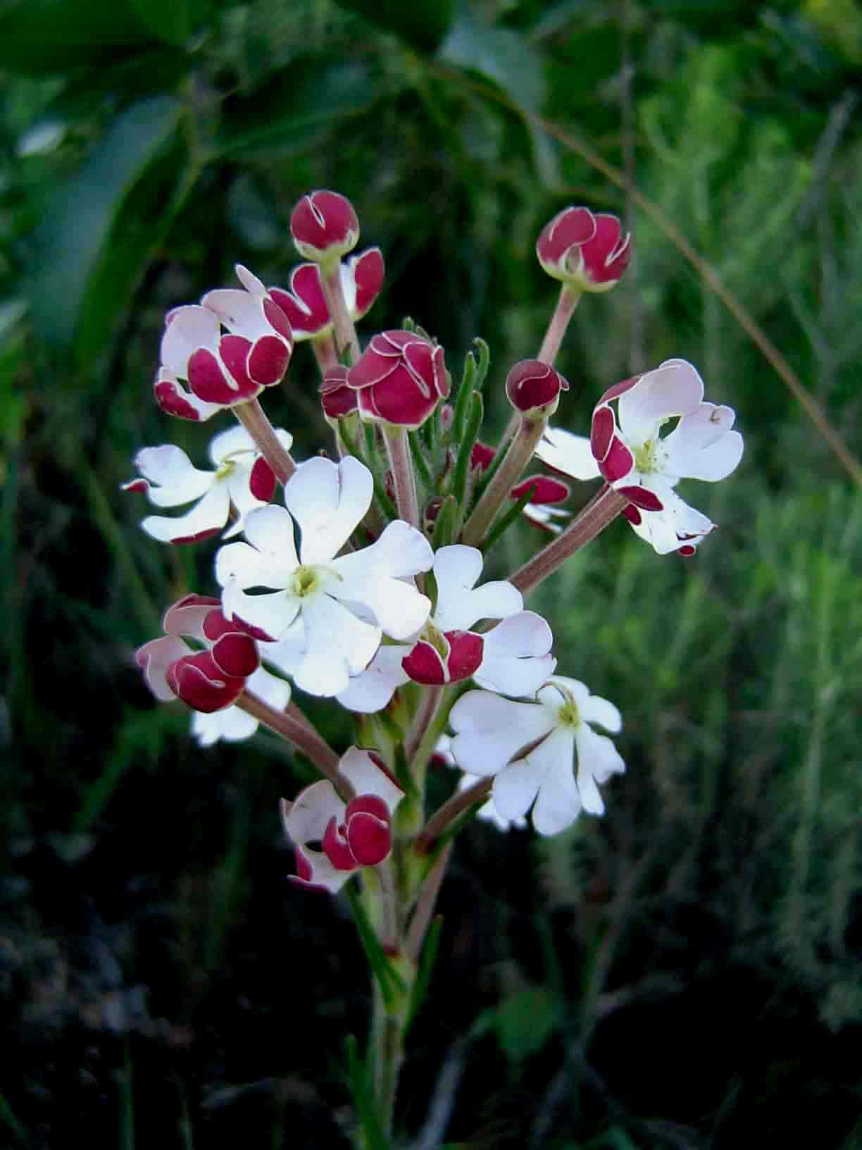 Zaluzianskya tropicalis