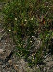 Mimulus gracilis