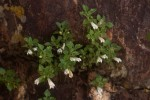 Stemodiopsis rivae