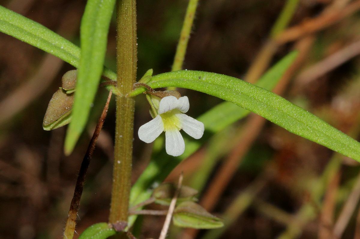Bacopa floribunda