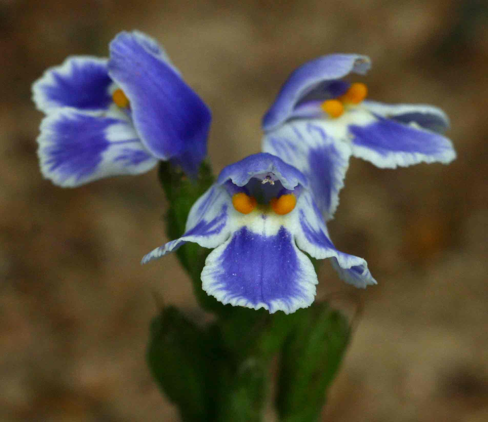Craterostigma plantagineum