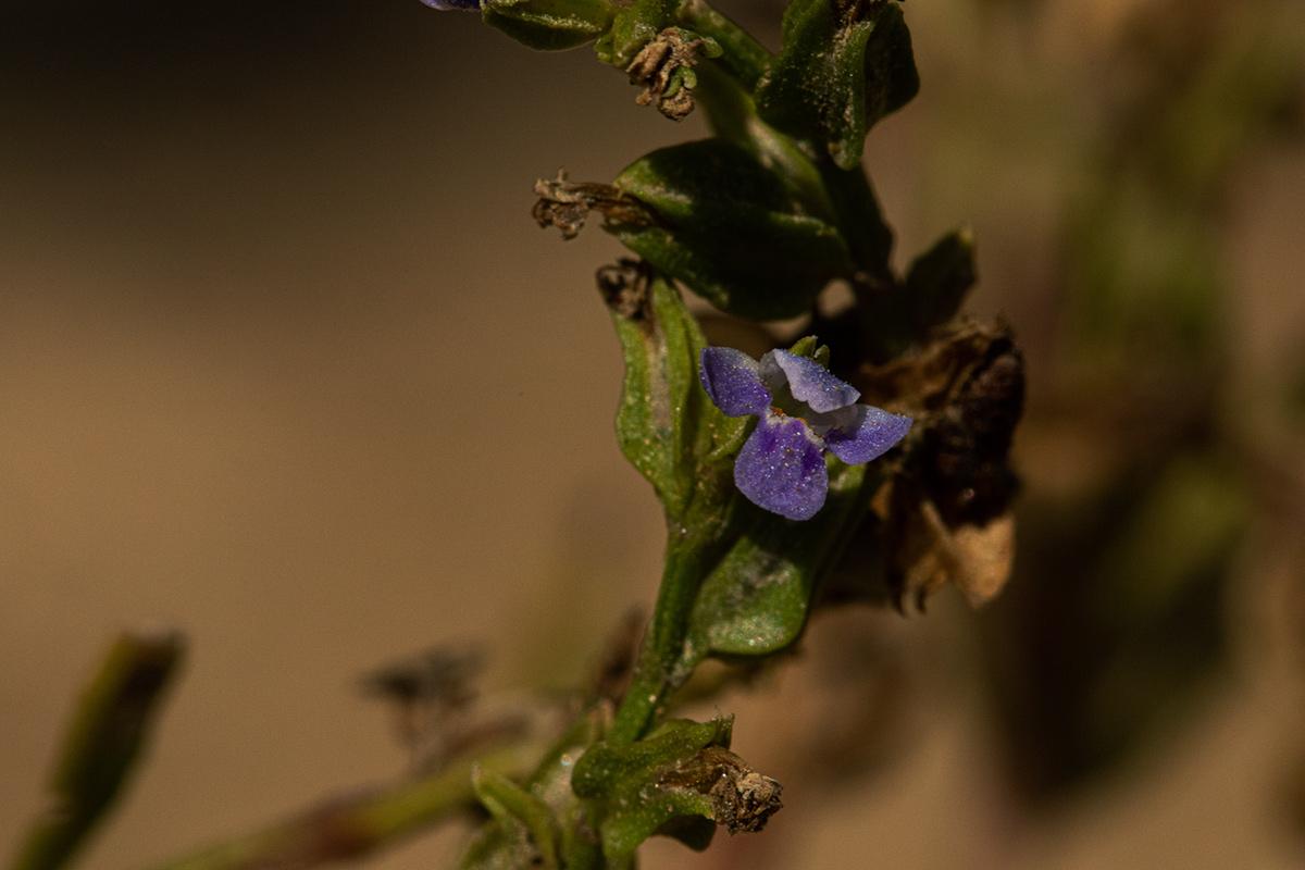 Crepidorhopalon spicatus