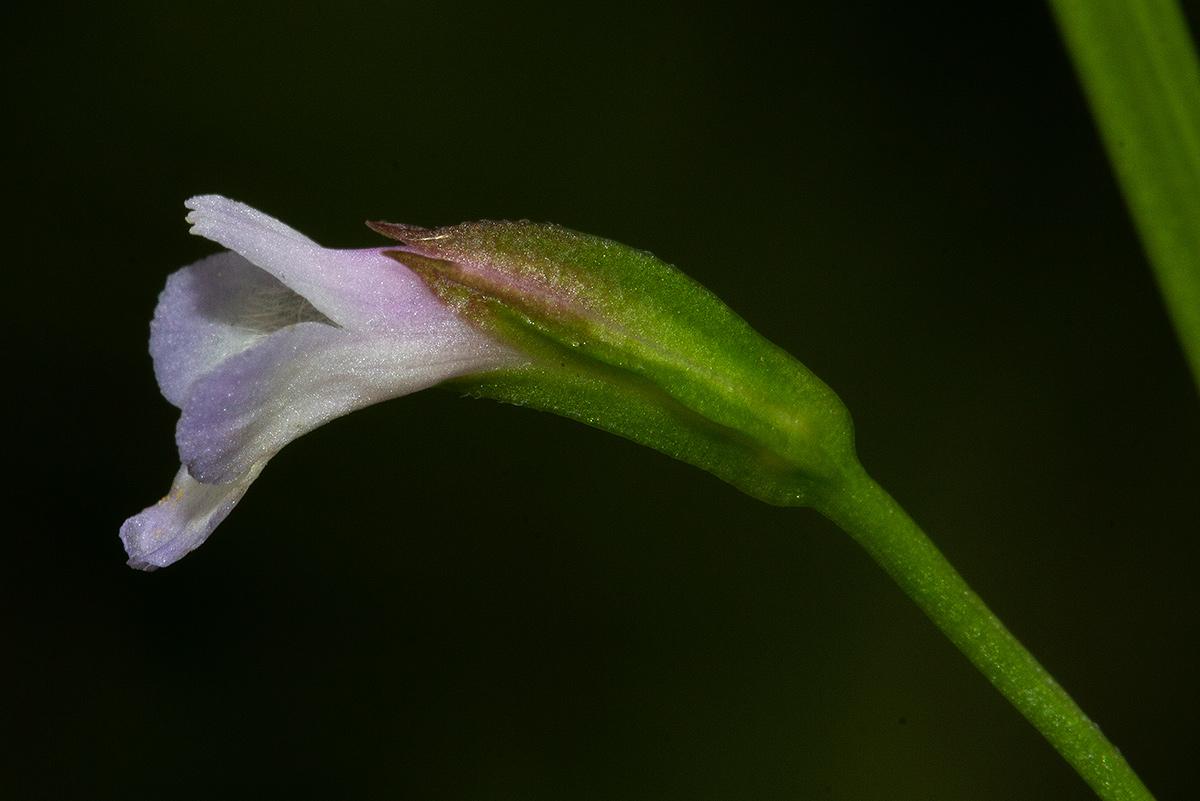 Torenia thouarsii