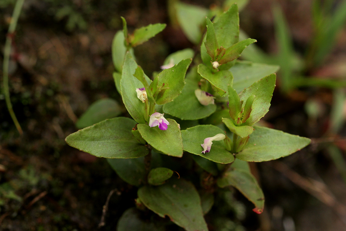 Linderniella nana
