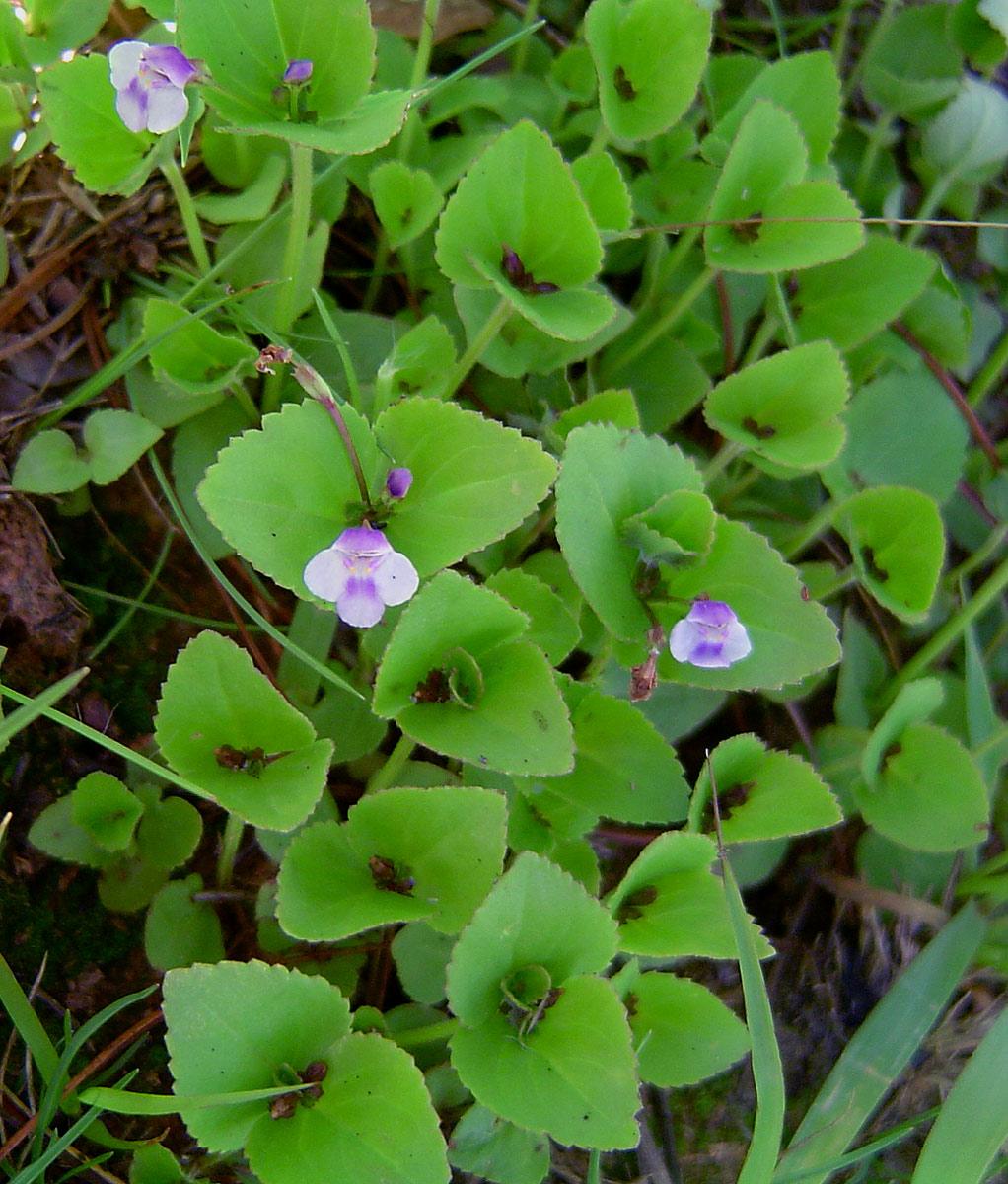 Craterostigma nummulariifolium