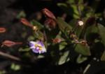 Linderniella pulchella
