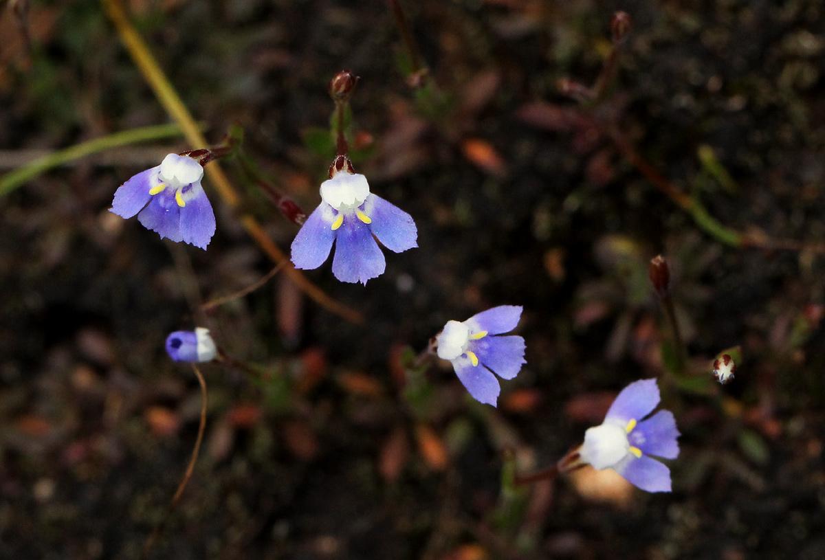 Linderniella wilmsii