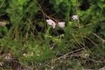 Selago anatrichota