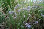 Selago goetzei subsp. ambigua