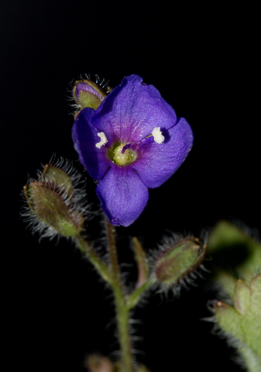 Veronica abyssinica
