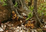 Alectra orobanchoides