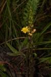 Alectra sessiliflora var. sessiliflora