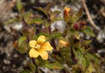 Alectra sessiliflora var. senegalensis