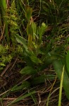 Gerardiina angolensis