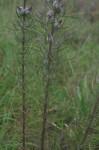 Sopubia karaguensis var. macrocalyx