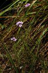 Buchnera chimanimaniensis